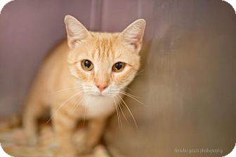 Domestic Shorthair Cat for adoption in Valley Falls, Kansas - Apricot