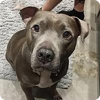 Adopt A Pet :: Azul - Windsor, VA