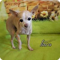 Chihuahua Dog for adoption in Benton, Louisiana - Taco