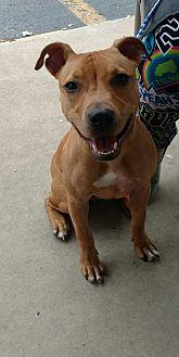 Pit Bull Terrier/Hound (Unknown Type) Mix Dog for adoption in Lakeland, Florida - Rosie