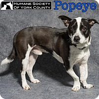 Adopt A Pet :: Popeye - Fort Mill, SC