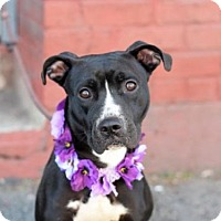 Adopt A Pet :: Bailey - Ridgefield, CT