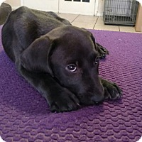 Adopt A Pet :: Daisy - Tampa, FL