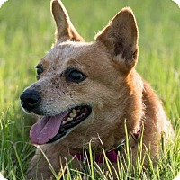 Adopt A Pet :: Chelsie - Bradenton, FL