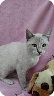 Siamese Cat for adoption in Yuba City, California - Kaiu