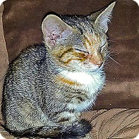 Domestic Shorthair Kitten for adoption in Durham, North Carolina - Caleigh