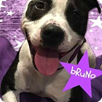 Adopt A Pet :: Bruno**Ready to go!** - Des Moines, IA
