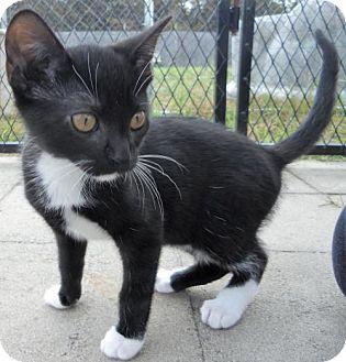 Domestic Mediumhair Cat for adoption in Siren, Wisconsin - Nora