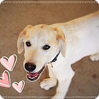 Adopt A Pet :: DREW - Fun Puppy! - Chandler, AZ