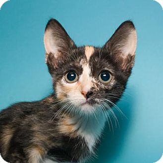 Domestic Shorthair Kitten for adoption in Jersey City, New Jersey - Cappuccino