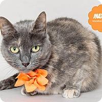 Calico Cat for adoption in Wyandotte, Michigan - Maxine