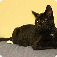 Domestic Shorthair Kitten for adoption in Carlisle, Pennsylvania - Bart