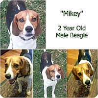 "Beagle Mix Dog for adoption in Findlay, Ohio - ""MIKEY"""