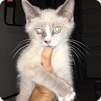 Siamese Kitten for adoption in Virginia Beach, Virginia - Stefan