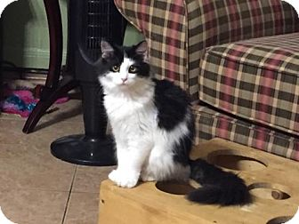 Domestic Mediumhair Cat for adoption in Cypress, Texas - PRINCE