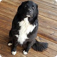 Adopt A Pet :: Ellie meet me 2/3 - Manchester, CT