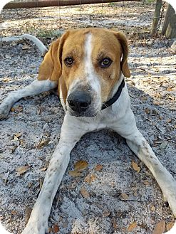 Hound (Unknown Type) Mix Dog for adoption in Umatilla, Florida - Teddy