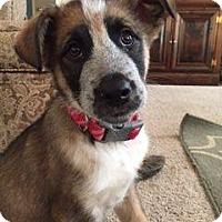 Adopt A Pet :: Ryker - New Oxford, PA