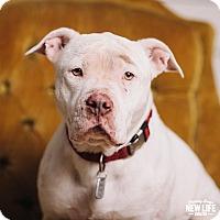 Adopt A Pet :: Abigail - Portland, OR