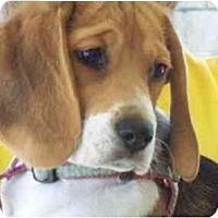 Adopt A Pet :: Coco Puff - Phoenix, AZ