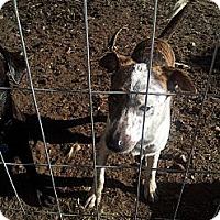 Adopt A Pet :: Bolt - Puyallup, WA