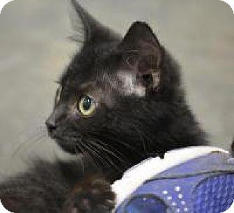 Domestic Shorthair Kitten for adoption in Jacksonville, Arkansas - Booker