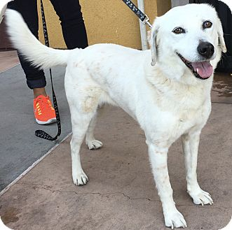 Labrador Retriever Mix Dog for adoption in San Ysidro, California - Mya