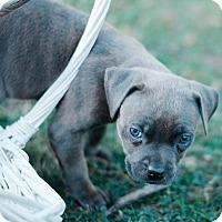 Adopt A Pet :: Cindy $250 - Seneca, SC