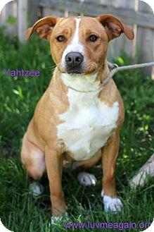 Labrador Retriever Mix Dog for adoption in Bloomington, Minnesota - Yahtzee