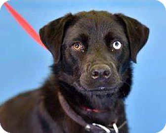 Husky/Labrador Retriever Mix Dog for adoption in Newburgh, Indiana - Pippi