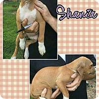 Adopt A Pet :: Shania meet me 9/9 - Manchester, CT