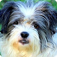 Adopt A Pet :: MISS SCOUT(ADORABLE