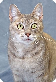 Domestic Shorthair Cat for adoption in Encinitas, California - Clefairy