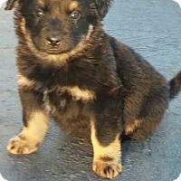 Adopt A Pet :: Sheppie - Denver, CO