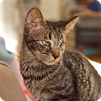 Domestic Shorthair Kitten for adoption in Chattanooga, Tennessee - Sparrow