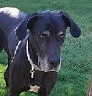 Great Dane Dog for adoption in Mesa, Arizona - Presley