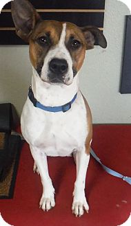 Boxer/Australian Cattle Dog Mix Dog for adoption in Colorado Springs, Colorado - Lexi