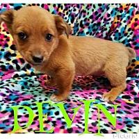 Adopt A Pet :: DEVIN - Pomfret, CT