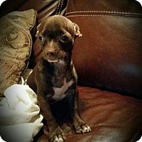 Adopt A Pet :: Louie - Allentown, PA