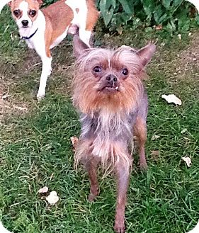 chinese crested terrier scrappy adopted dog 472300032 columbia heights mn 8037
