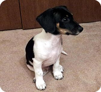 Dallas | Adopted Puppy | Overland Park, KS | Dachshund ...