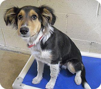 Sheltie, Shetland Sheepdog Mix Dog for adoption in Wickenburg, Arizona - Spur