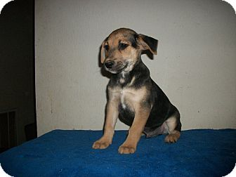 German Shepherd Dog/Beagle Mix Puppy for adoption in Manchester