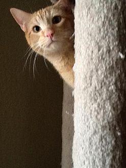 Domestic Shorthair Cat for adoption in Phoenix, Arizona - Ricky