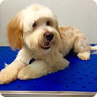 Adopt A Pet :: Cagney - Encino, CA