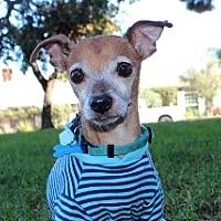 Chihuahua Mix Dog for adoption in Rancho Palos Verdes, California - Macaroni