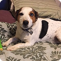 Jack Russell Terrier/Corgi Mix Dog for adoption in Oklahoma City, Oklahoma - Toby In Oklahoma