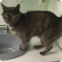 Domestic Mediumhair Cat for adoption in New Haven, Connecticut - Misty