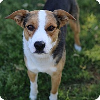 Beagle/Blue Heeler Mix Dog for adoption in Phoenix, Arizona - Duke