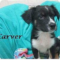 Adopt A Pet :: Carver - Bartonsville, PA